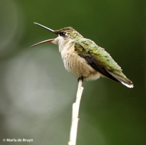 ruby-throated hummingbird DK7A0492© Maria de Bruyn res