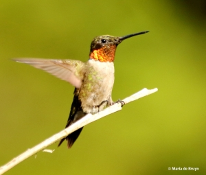 ruby-throated hummingbird DK7A0498© Maria de Bruyn (2) res
