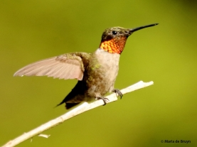 ruby-throated hummingbird DK7A0499© Maria de Bruyn (2) res