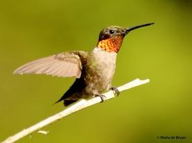 ruby-throated hummingbird DK7A0499© Maria de Bruyn (2) res