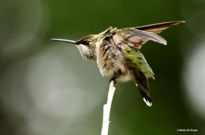 ruby-throated hummingbird DK7A0499© Maria de Bruyn res