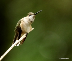 ruby-throated hummingbird DK7A0712© Maria de Bruyn res