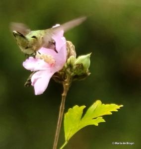 ruby-throated hummingbird DK7A0820© Maria de Bruyn