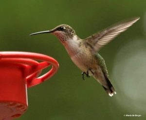ruby-throated hummingbird DK7A0866© Maria de Bruyn res
