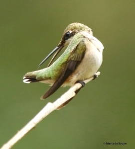 ruby-throated hummingbird DK7A1112© Maria de Bruyn res