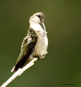 ruby-throated hummingbird DK7A1226© Maria de Bruyn res