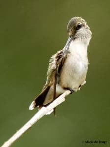 ruby-throated hummingbird DK7A1230© Maria de Bruyn res