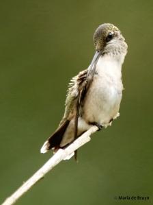 ruby-throated hummingbird DK7A1230© Maria de Bruyn res