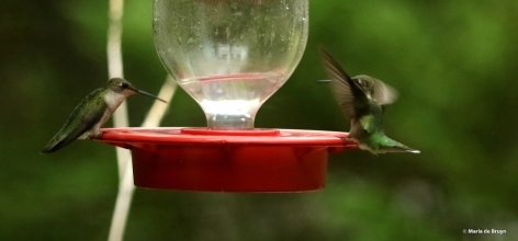 ruby-throated hummingbird DK7A1562© Maria de Bruyn res