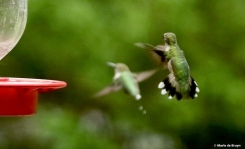 ruby-throated hummingbird DK7A1568© Maria de Bruyn res
