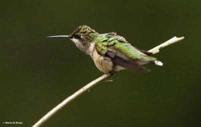 ruby-throated hummingbird DK7A1673© Maria de Bruyn (2) res