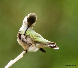 ruby-throated hummingbird DK7A1754© Maria de Bruyn res