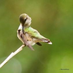 ruby-throated hummingbird DK7A1756© Maria de Bruyn res