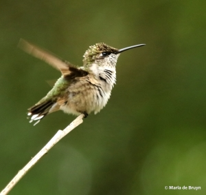 ruby-throated hummingbird DK7A1828© Maria de Bruyn res