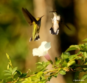 ruby-throated hummingbird DK7A2247© Maria de Bruyn res