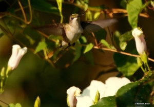 ruby-throated hummingbird DK7A2376© Maria de Bruyn res