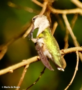 ruby-throated hummingbird DK7A5627© Maria de Bruyn res