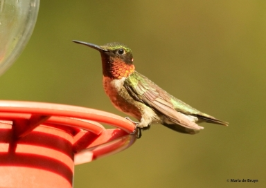 ruby-throated hummingbird DK7A6865© Maria de Bruyn res