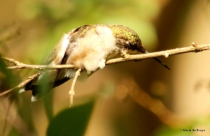 ruby-throated hummingbird DK7A7094© Maria de Bruyn res