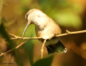 ruby-throated hummingbird DK7A7105© Maria de Bruyn res