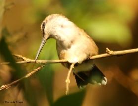 ruby-throated hummingbird DK7A7105© Maria de Bruyn res