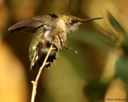 ruby-throated hummingbird DK7A7307© Maria de Bruyn res