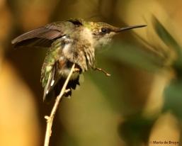 ruby-throated hummingbird DK7A7307© Maria de Bruyn res