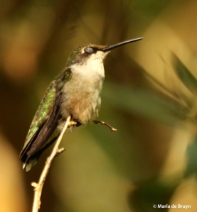 ruby-throated hummingbird DK7A7319© Maria de Bruyn res