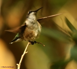 ruby-throated hummingbird DK7A7353© Maria de Bruyn res
