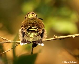 ruby-throated hummingbird DK7A7355© Maria de Bruyn res