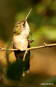 ruby-throated hummingbird DK7A7454© Maria de Bruyn res