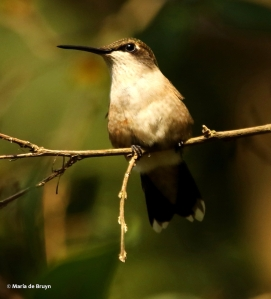 ruby-throated hummingbird DK7A7804© Maria de Bruyn res
