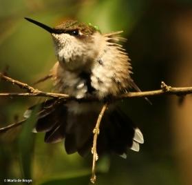 ruby-throated hummingbird DK7A7928© Maria de Bruyn