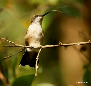 ruby-throated hummingbird DK7A7940© Maria de Bruyn res