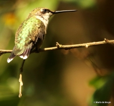 ruby-throated hummingbird DK7A8123© Maria de Bruyn