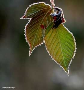 frosty morning leaves IMG_7351©Maria de Bruyn Nat Geo