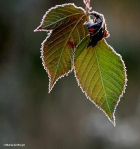 frosty morning leaves IMG_7351©Maria de Bruyn Nat Geo