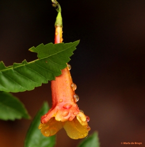 Orange mahagony esperanza IMG_6425© Maria de Bruyn res