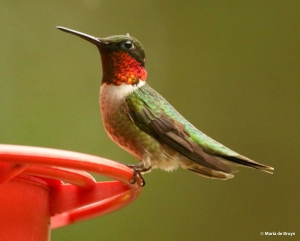 ruby-throated hummingbird DK7A8190© Maria de Bruyn res