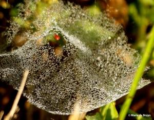 sheetweb dwarf spider DK7A4076© Maria de Bruyn res