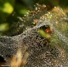sheetweb spider DK7A4086© Maria de Bruyn