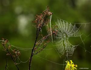 spider web DK7A6479© Maria de Bruyn res