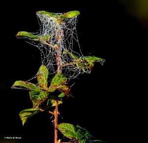 spider web splendor IMG_2727©Maria de Bruyn res