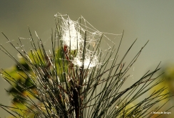 spider web with dewdrops IMG_2683©Maria de Bruyn res
