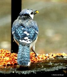 Blue jay I77A3141© Maria de Bruyn res