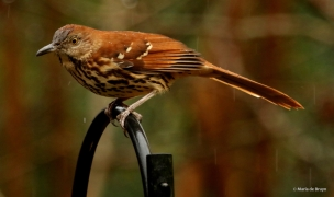 brown thrasher I77A9881© Maria de Bruyn res