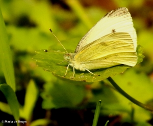 Cabbage white butterfly DK7A2287© Maria de Bruyn res