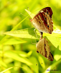 common buckeye IMG_9538© Maria de Bruyn res