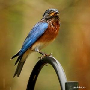 Eastern bluebird I77A0155© Maria de Bruyn res
