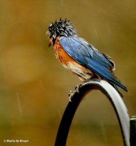 Eastern bluebird I77A9710© Maria de Bruyn res